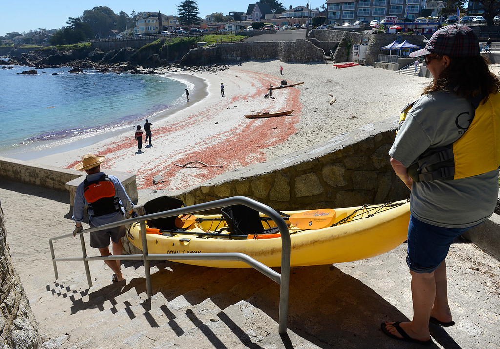 . Piles of pelagic red crabs cover Lovers Point Beach as Esther Vanderhorst and her husband Phil head out kayaking in Pacific Grove on Thursday March 9, 2017. (David Royal - Monterey Herald)
