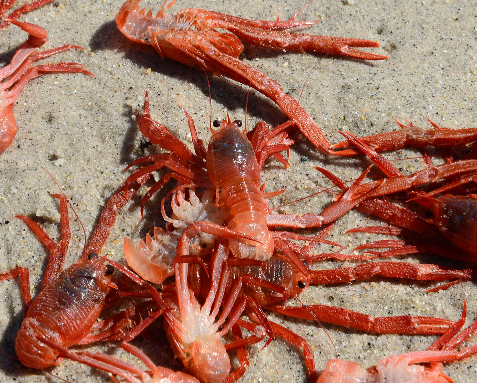 . Pelagic red crabs that are alive move amongst others that are dead after washing up on Lovers Point Beach in Pacific Grove on Thursday March 9, 2017. (David Royal - Monterey Herald)