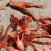 pelagic red crabs