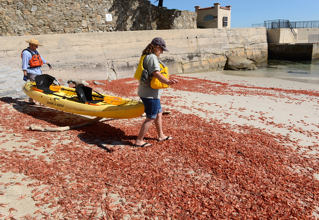 . Esther Vanderhorst tries to avoid stepping on pelagic red crabs that are still alive while crossing a large pile of them to go kayaking with her husband Phil at Lovers Point Beach in Pacific Grove on Thursday March 9, 2017. (David Royal - Monterey Herald)