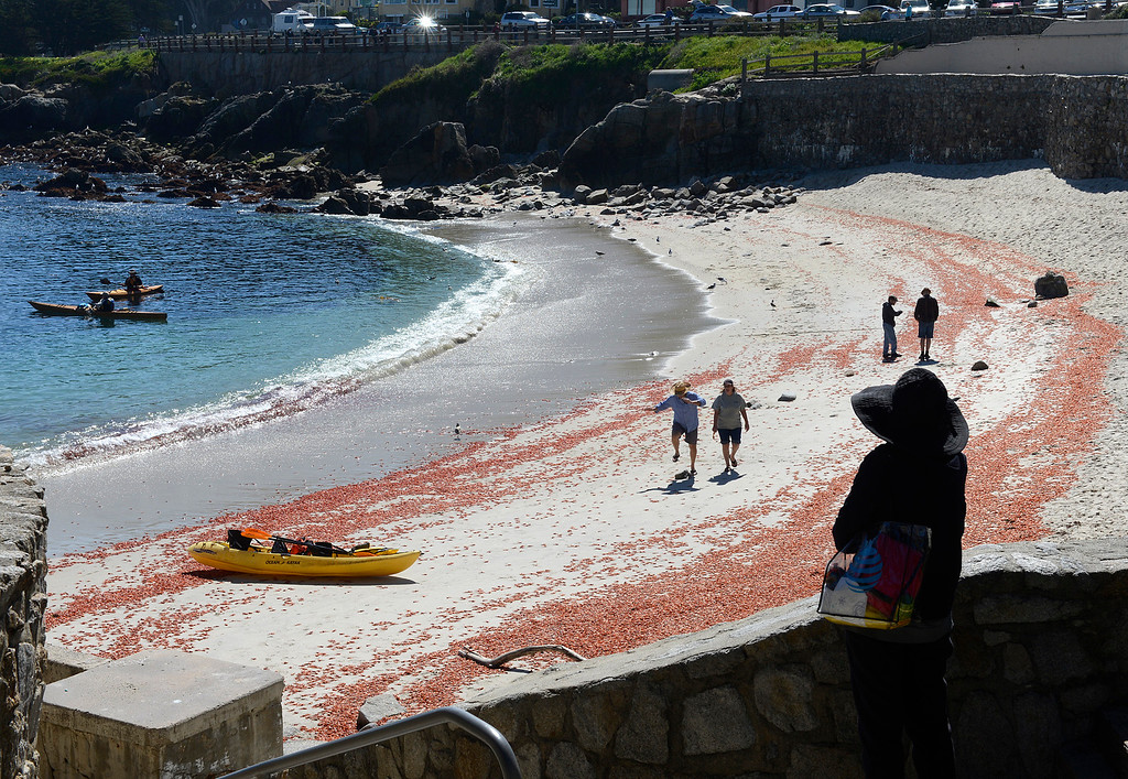 . Pelagic red crabs line the beach at Lovers Point Beach in Pacific Grove on Thursday March 9, 2017. (David Royal - Monterey Herald)