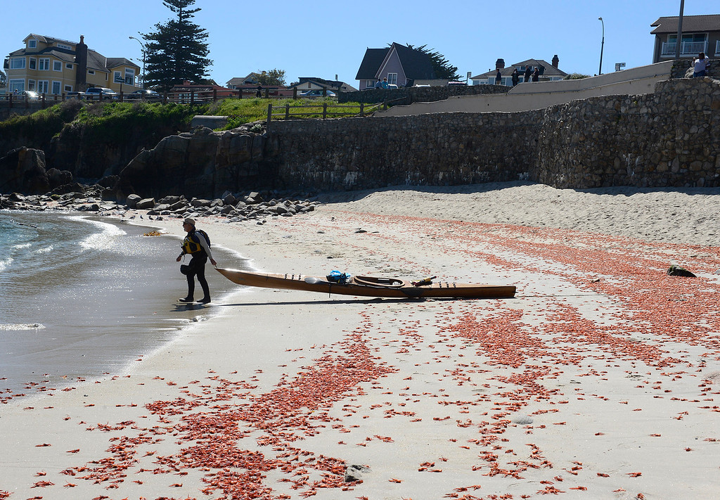 . Bud Miller walks past swaths of pelagic red crabs while heading out kayaking at Lovers Point Beach in Pacific Grove on Thursday March 9, 2017. (David Royal - Monterey Herald)
