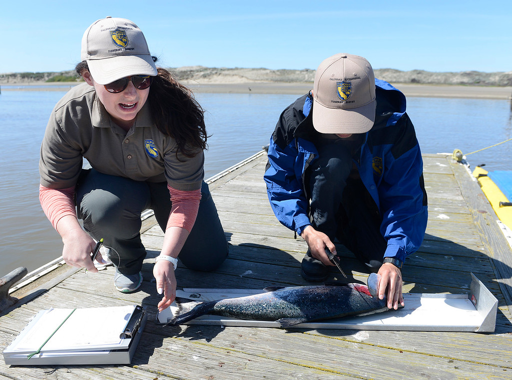 . California Department of Fish and Wildlife scientific technicians Amanda McDermott and Trevin Li cut the head off a salmon after  measuring it during the opening day of the recreational salmon season Moss Landing Harbor on Saturday April 1, 2017. The head is removed on salmon fitted with a code wire tag for scientists to recover data on the life of the fish.  (David Royal - Monterey Herald)