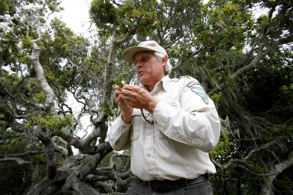 . Bureau of Land Management botanist Bruce Delgado inspects a coast live oak leaf near a vernal pond on the Bureau of Land Management area of Fort Ord on Wednesday, April 5, 2017.  The above average rainfall in Monterey County has filled the approximately forty-five ponds, lakes and vernal pools to full levels.   (Vern Fisher - Monterey Herald)