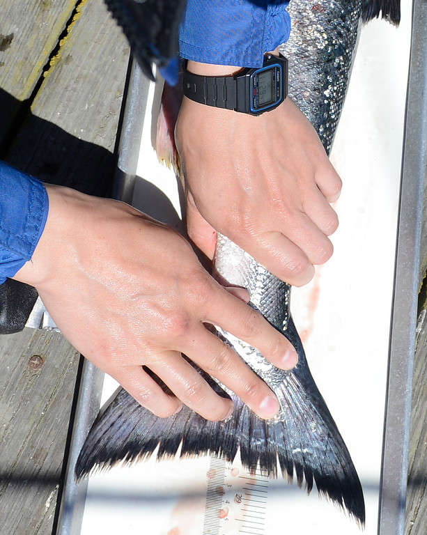 . California Department of Fish and Wildlife scientific technician Trevin Li measures the length of a salmon after during the opening day of the recreational salmon season Moss Landing Harbor on Saturday April 1, 2017. (David Royal - Monterey Herald)