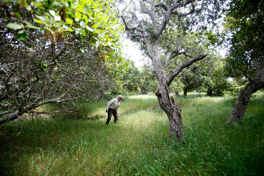 . Bureau of Land Management botanist Bruce Delgado walks through oak and grassland on the Bureau of Land Management area of Fort Ord on Wednesday, April 5, 2017.  The above average rainfall in Monterey County has filled the approximately forty-five ponds, lakes and vernal pools to full levels.   (Vern Fisher - Monterey Herald)