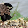 Feature Geese chicks
