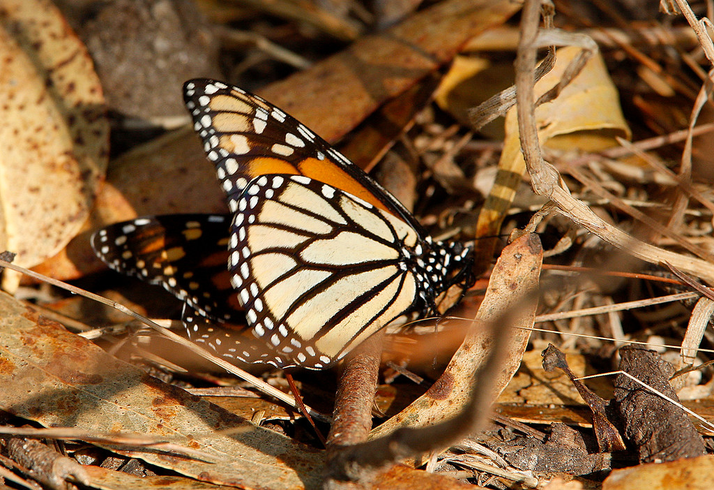 . A Monarch Butterfly lies dying with its abdomen gone at the Monarch Butterfly Sanctuary in Pacific Grove on Monday, November 20, 2017  (Vern Fisher - Monterey Herald)