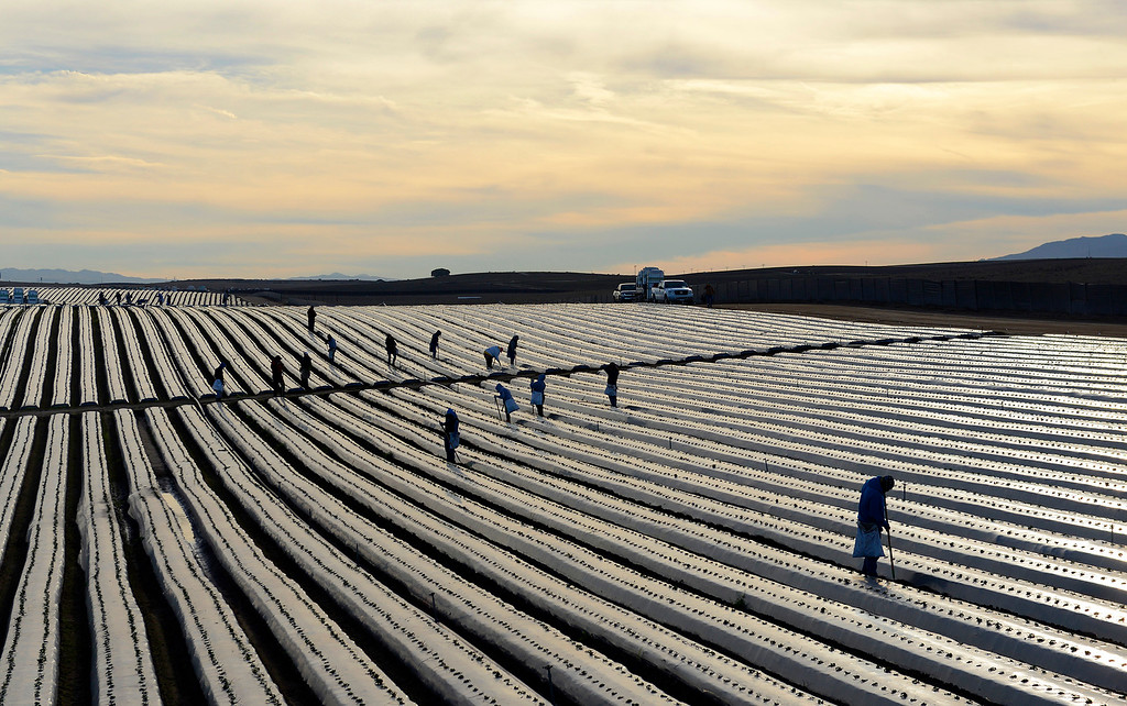 . Farmworkers tend to a strawberry field north of Marina on Tuesday, Nov. 21, 2017.  (Vern Fisher - Monterey Herald)