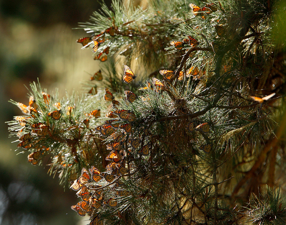. Monarch Butterflies at the Monarch Butterfly Sanctuary in Pacific Grove on Monday, November 20, 2017.  (Vern Fisher - Monterey Herald)