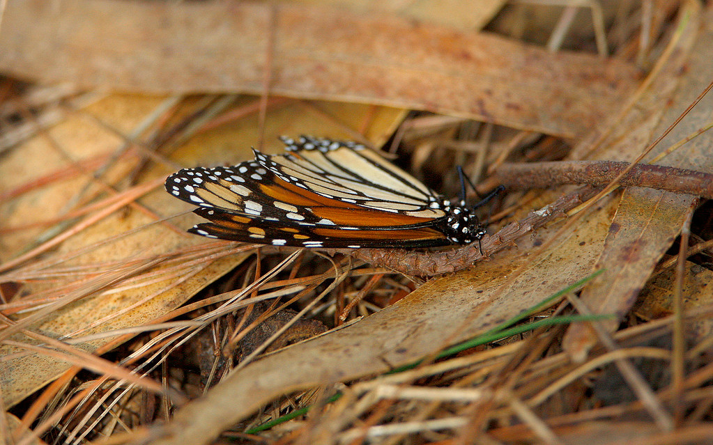 . A dead Monarch Butterfly at the Monarch Butterfly Sanctuary in Pacific Grove on Monday, November 20, 2017.  (Vern Fisher - Monterey Herald)