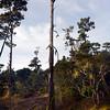 dead pine trees