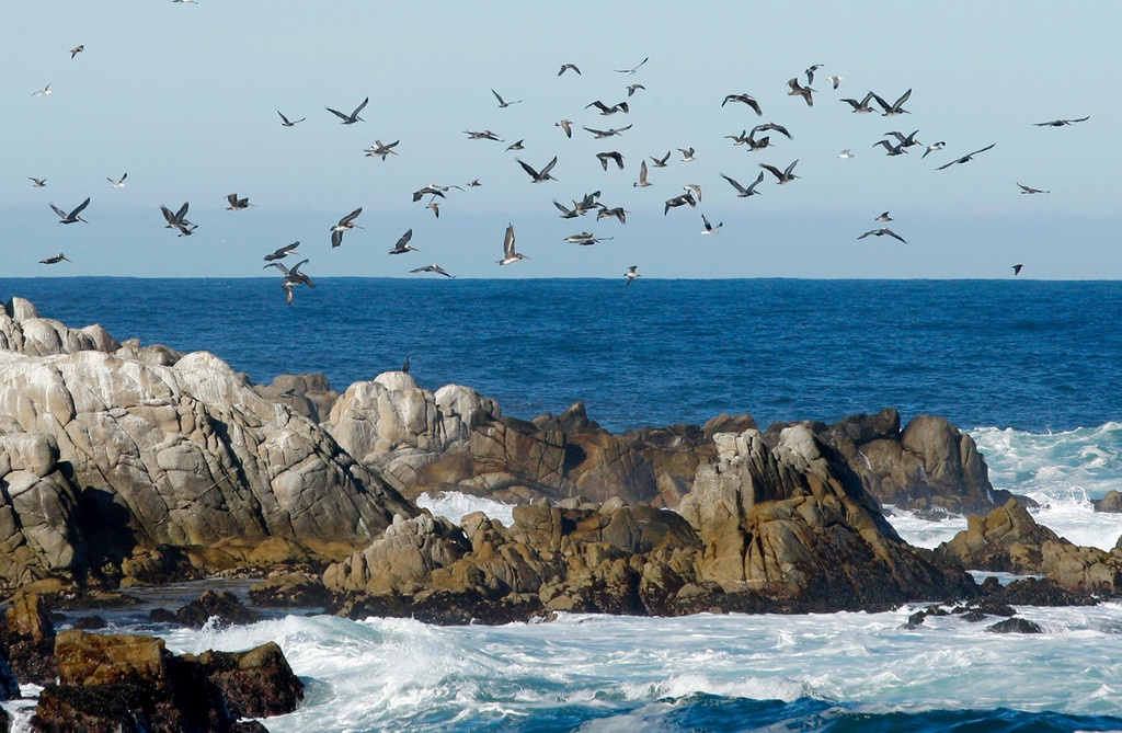 . A mix of gulls and Brown Pelican\'s fly over Point Pinos in Pacific Grove on Wednesday, Nov. 29, 2017.   (Vern Fisher - Monterey Herald)