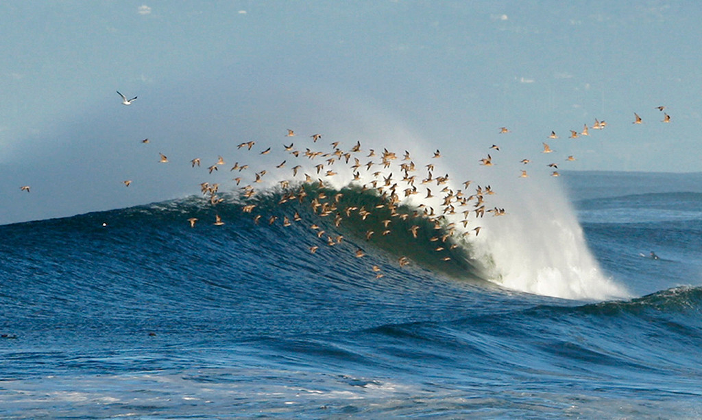 . A flock of birds soars over a breaking wave at Moss Landing State Beach on Thursday, Nov. 30, 2017.  (Vern Fisher - Monterey Herald)