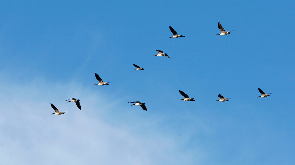 . A flock of Canada Geese fly in formation over Moss Landing State Beach on Thursday, Nov. 30, 2017.  (Vern Fisher - Monterey Herald)
