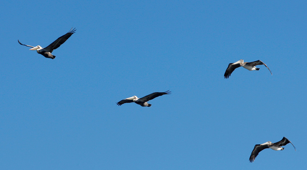 . A group of Brown Pelican\'s fly over Point Pinos in Pacific Grove on Wednesday, Nov. 29, 2017.   (Vern Fisher - Monterey Herald)