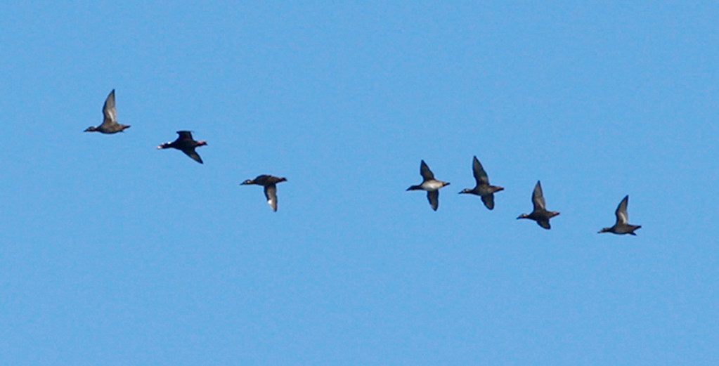 . A group of Pacific Loon\'s migrate south over Point Pinos in Pacific Grove on Wednesday, Nov. 29, 2017.   (Vern Fisher - Monterey Herald)