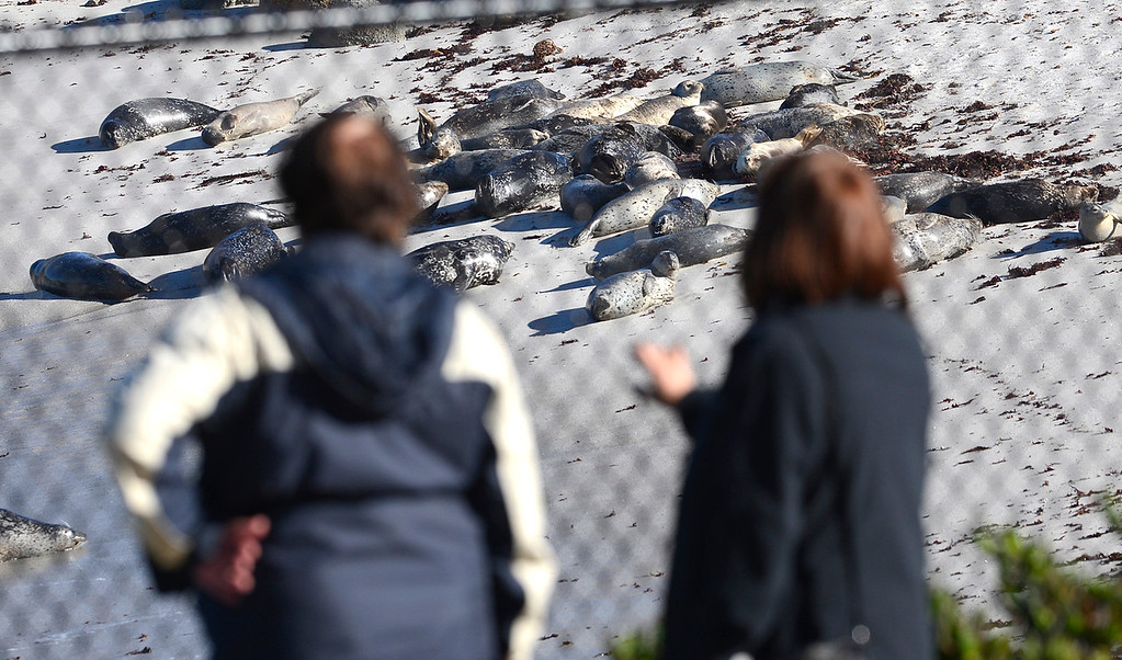 . People look at a harbor seal haul at the beach at Hopkins Marine Station in Pacific Grove on Wednesday November 30, 2016. (David Royal - Monterey Herald)