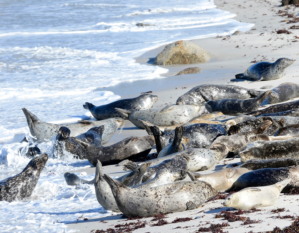 . Harbor seals arch their bodies up as a wave rolls up on their haul out at the beach at Hopkins Marine Station in Pacific Grove on Wednesday November 30, 2016. (David Royal - Monterey Herald)