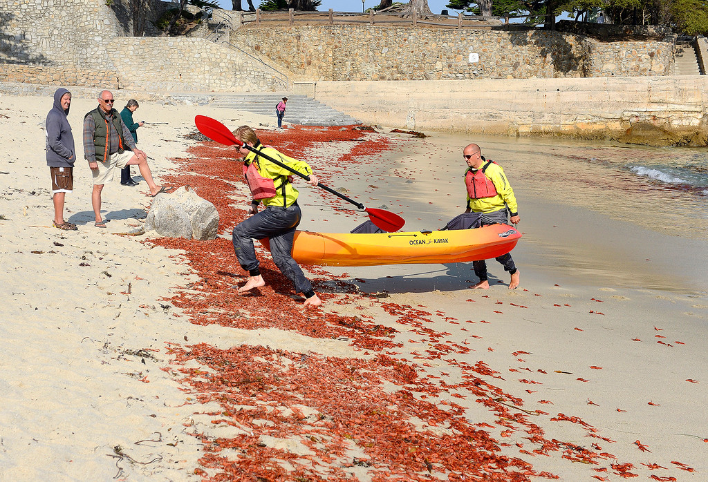 . Robert Rooda and Laurens Barendregt walk their kayak through thousands of red pelagic crabs, AKA tuna crab that washed up at Lovers Point Beach in Pacific Grove on Thursday, November 15, 2018.  (Vern Fisher - Monterey Herald)