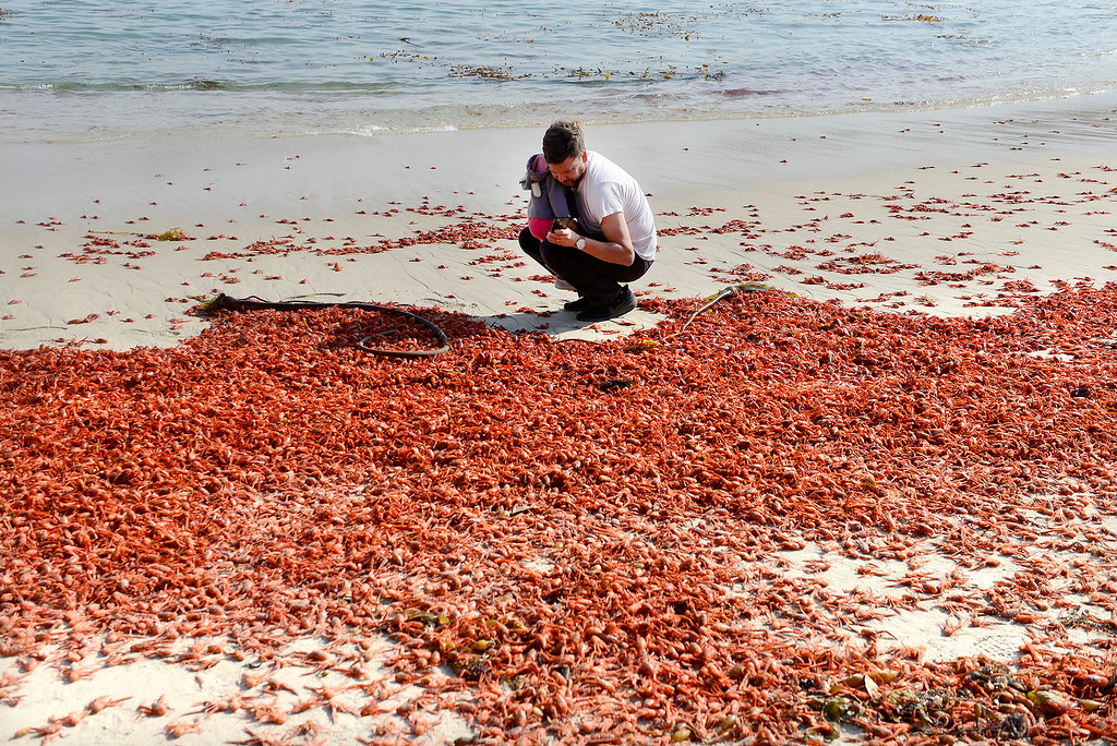 . Matt Eggleston with daughter Violet, 1, look at thousands of red pelagic crabs, AKA tuna crab that washed up at Lovers Point Beach in Pacific Grove on Thursday, November 15, 2018.  (Vern Fisher - Monterey Herald)