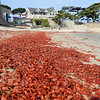 Red Pelagic Crabs