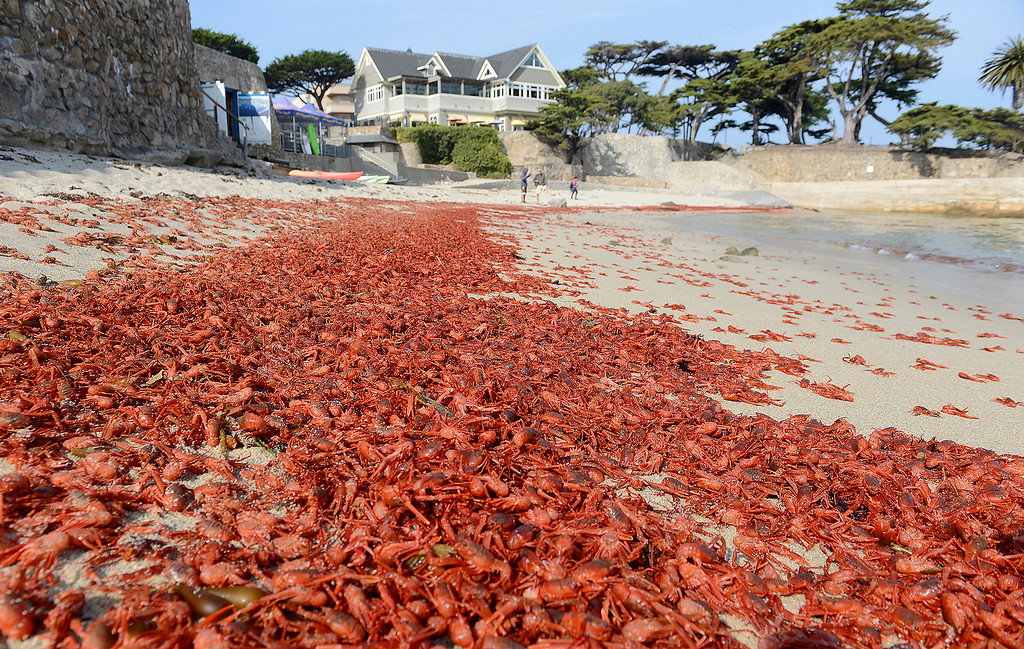 . Red Pelagic Crabs, AKA Tuna Crab, washed up at Lovers Point Beach in Pacific Grove on Thursday, November 15, 2018.  (Vern Fisher - Monterey Herald)
