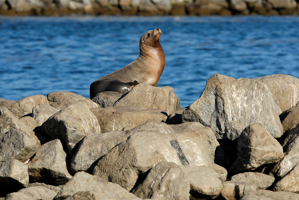 . A seal on the breakwater at the Moss Landing Harbor in Monday, Oct. 23, 2017.  (Vern Fisher - Monterey Herald)