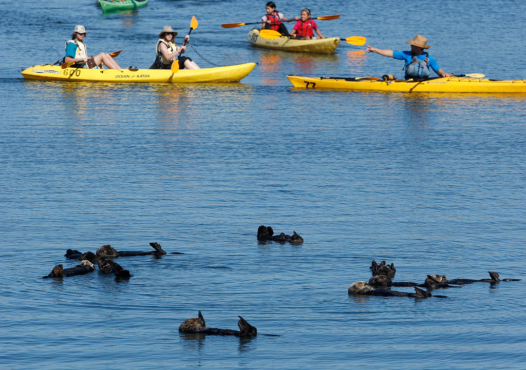 . People kayak past a raft of sea otters in the Moss Landing Harbor on Wednesday, Oct. 25, 2017.  (Vern Fisher - Monterey Herald)
