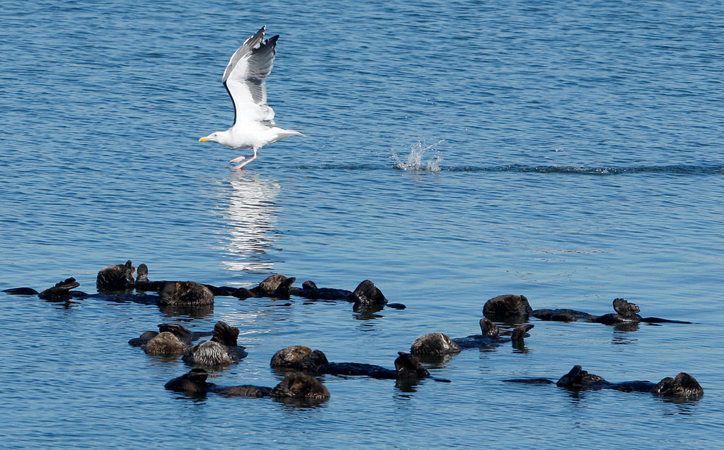 . A gull flies past a raft of sea otters in the Moss Landing Harbor on Wednesday, Oct. 25, 2017.  (Vern Fisher - Monterey Herald)