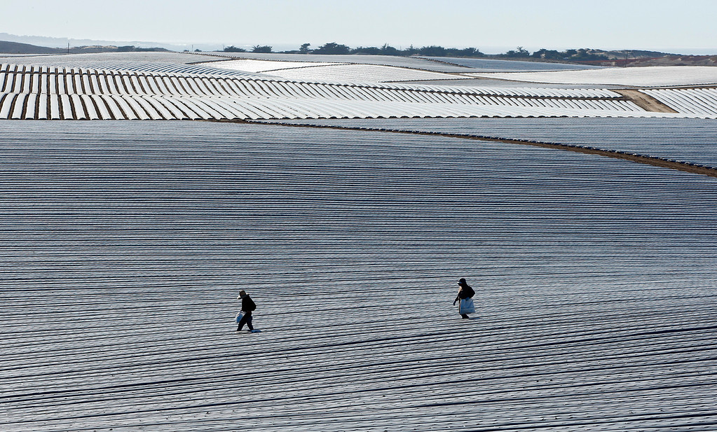 . Farmworkers brave the heat while preparing a strawberry field for planting in Marina on Monday, Oct. 23, 2017.  (Vern Fisher - Monterey Herald)