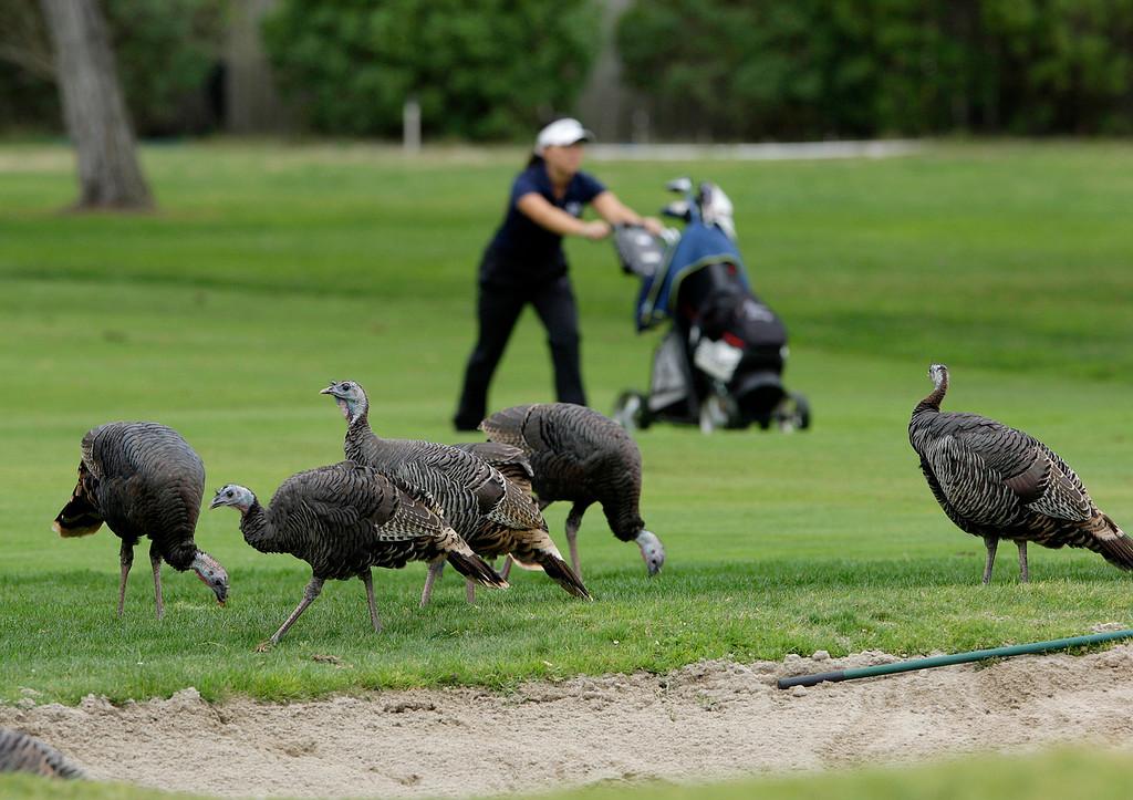 . Wild turkeys roam at Laguna Seca Golf Ranch in Monterey during the girls CCS Golf Championship on Tuesday, Oct. 31, 2017.   (Vern Fisher - Monterey Herald)