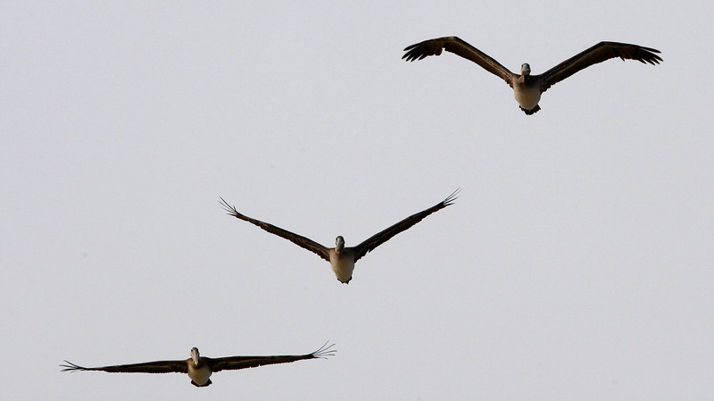 Three pelicans fly in different flight patterns over Moss Landing on Monday, September 17, 2018.  (Vern Fisher - Monterey Herald)