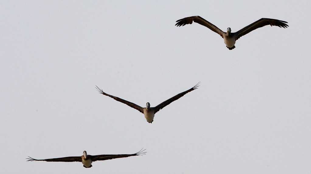 . Three pelicans fly in different flight patterns over Moss Landing on Monday, September 17, 2018.  (Vern Fisher - Monterey Herald)