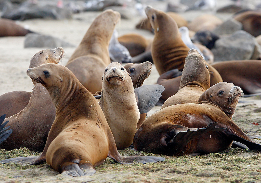 . Sea Lions once again take up residence on the south side of the Moss Landing Harbor entrance on Monday, September 17, 2018.  (Vern Fisher - Monterey Herald)