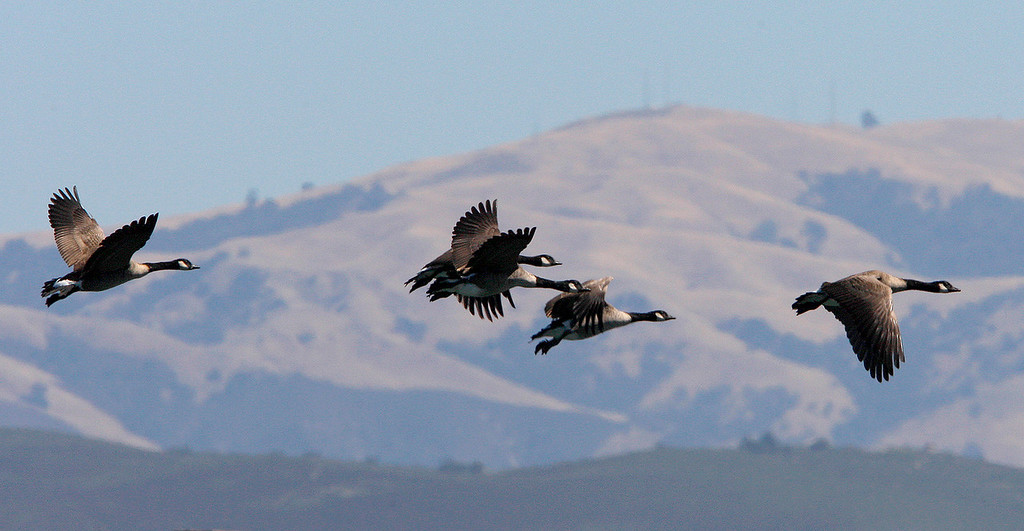 . A flock of Canada geese fly over the Monterey Harbor on Friday, September 14, 2018.  (Vern Fisher - Monterey Herald)