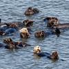 Sea Otter count
