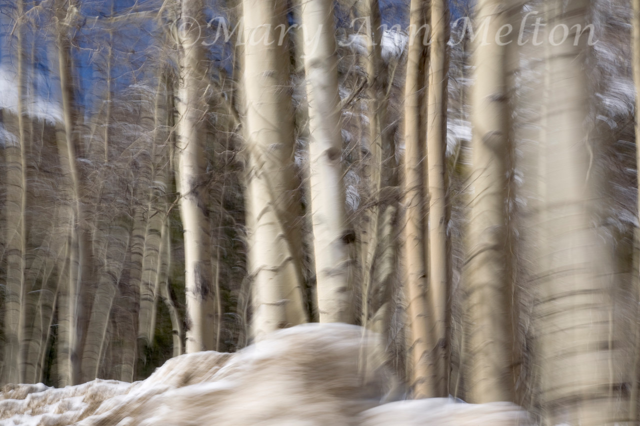Colorado Aspens, Chalk Creek