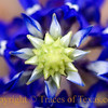 Bluebonnet, from above