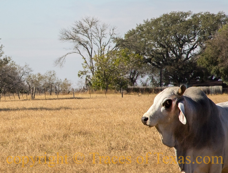 Title: Big Bad Brahma<br /> <br /> Comments:  Not sure why, but Brahma Bulls always look like they are about to kill you. <br /> <br /> Location: Cestohowa, Texas
