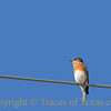 """Title:  You'd Be a Sad One<br /> <br /> Comment: This Western Bluebird was kind enough to sit on a wire and pose for me. I was thinking, """"what a showoff!""""  But then I thought  """"Were I this beautiful, I would be, too."""" <br /> <br /> Location:  The wire outside your house."""