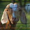 Title:   Billy goat not Gruff<br /> <br /> Comments: Every once in awhile, I am blessed by meeting a friendly billy goat.  I swear this one was practically smiling at me.<br /> <br /> Location: Georgetown, Texas