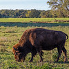 Title:  Buffalo in Paradise<br /> <br /> Comments:  The country and all that emptiness did something to my head. Which I liked, and need to return to from time to time.  <br /> <br /> Location:  Willow City