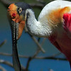 Title:   Boss Spoonbill, Up Close and Personal<br /> <br /> Comments: The Roseate Spoonbill (Platalea ajaja) is one of the most unusual-looking birds in Texas. Prized for its plummage it was nearly hunted to extinction a few decades ago but has made a comeback.  It is related to the Ibis. <br /> <br /> Location: High Island, Texas