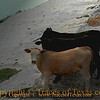 Title:   Calves at Sunrise<br /> <br /> Comments: These calves were trying to enjoy a quiet drink in the river when I intruded on their solitude.<br /> <br /> Location: Schwertner, Texas