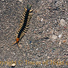 Title:  In My Driveway<br /> <br /> Comments: It was more than a little interesting to watch this Texas red-headed centipede march across my driveway. He was a bad mamma jamma!<br /> <br /> Location: Ausitn