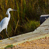 Title: Were the Wanderer Alone, and Knew Not Whether to Sing or Cry<br /> <br /> Comments:  I am an egret in my own mind and feel a spiritual kinship with them, robably because I am so tall and gawky myself. <br /> <br /> Location: Anahuac National Wildlife Refuge
