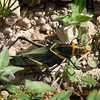 Title:  Watch Your Step<br /> <br /> Comments: Texas has a huge variety of freaky bugs. This is Taeniopoda eques, the  horse lubber grasshopper,. They sometimes move in swarms that are several miles wide ---- really.  They are toxic, so don't eat one. <br /> <br /> Location: West Texas