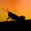 Title:   Grasshopper Contemplating Sunset<br /> <br /> Comments: <br /> <br /> Location: I have completely forgotten where I took this.