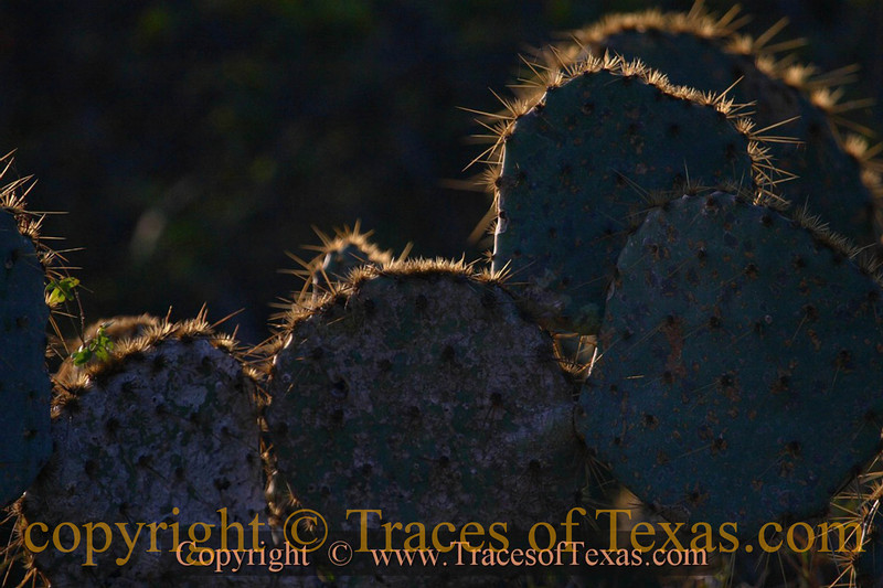 Title:   Early morning Round the Prickly Pear<br /> <br /> Comments: I haven't counted them all, but I think the prickly pear cactus is probably the most common succulent in the state. The fruit of prickly pears, called tuna, is edible. <br /> <br /> Location: Marathon, Texas